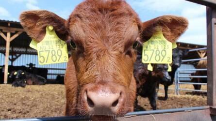 Angus marhák Adonyban - Fajtaelőnyök és tartástechnológia