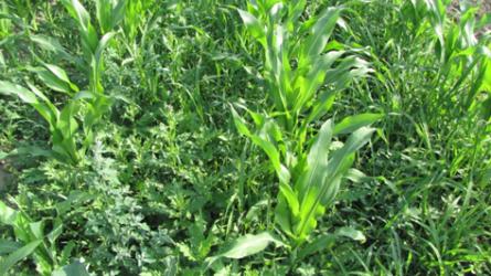 Hatékony kukorica gyomirtás, még az évelő gyomokkal szemben is