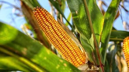 Három hónapos mélyponton járt a kukorica ára