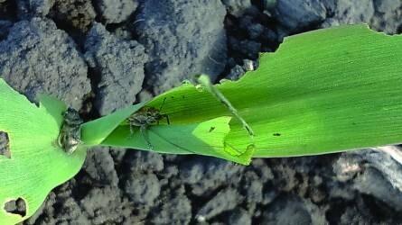 Kicsik a kalászok, vontatott a kukorica fejlődése