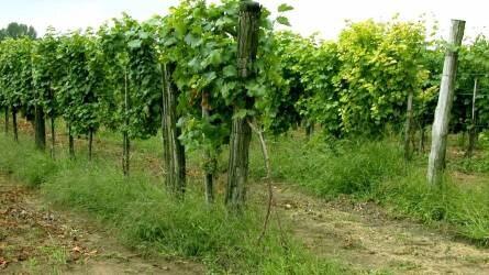 Milyen növény alkalmas a szőlősorok talajának takarására?