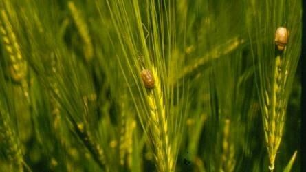 Veszélyes kártevők: a gabonapoloskák