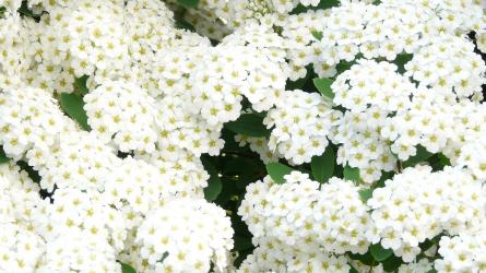 Miből legyen sövény? I. rész – lombhullató, pompásan virágzó sövénynövények