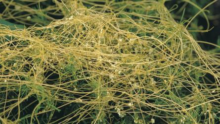 Országszerte erős az aranka fertőzés