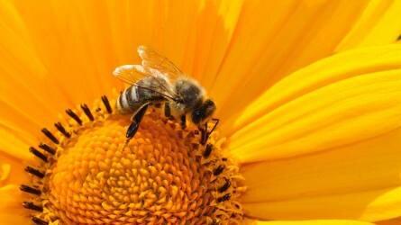Méhpusztulást tapasztal? Hívja a zöld számot!