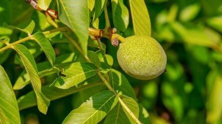 Milyen kárt okozhat a diófákon az almamoly?