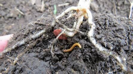 Terjed a drótféreg kártétel a napraforgó és kukorica kultúrákban