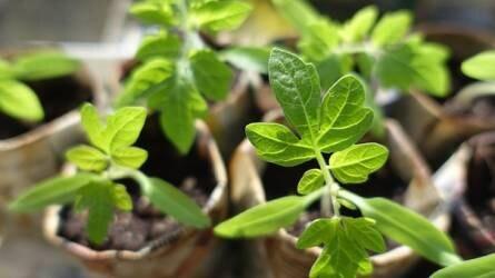 Mikor fejtrágyázzuk zöldségnövényeinket?