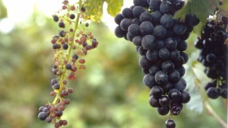 Miért fejlődik néhány szőlőhajtás nagyon erőtlenül?