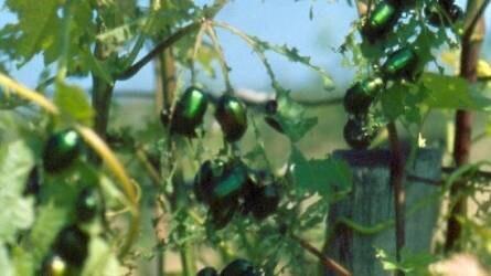 Hogyan lehet a zöld cserebogár ellen védekezni szőlőben?