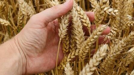 Az aszály miatt romlottak az orosz búzaexport kilátásai