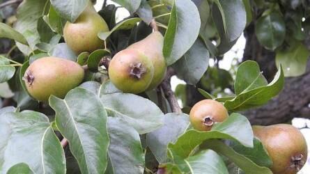 Mi okozza narancssárga foltok kialakulását a körtefa levelein?