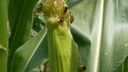 Megjelentek az első amerikai kukoricabogár imágók
