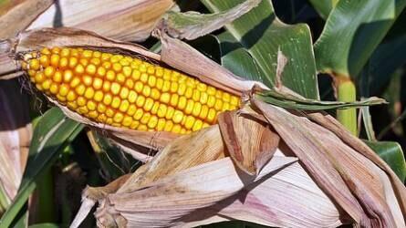 Ötéves csúcsra drágult a kukorica
