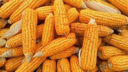 Négy hónap után drágult látványosan a kukorica