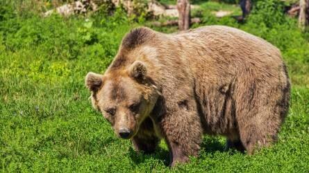 Engedélyezték 140 medve kilövését Hargita megyében