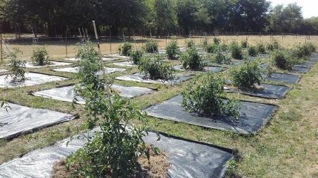 A szabadföldön termesztett paradicsom integrált növényvédelme