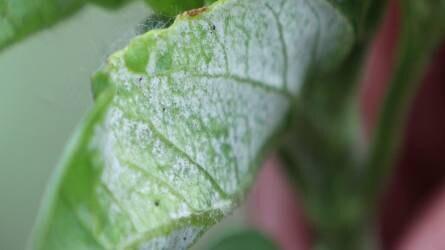 Napraforgó peronoszpóra, védekezési javaslatokkal - Agrofórum növényvédelmi kisokos