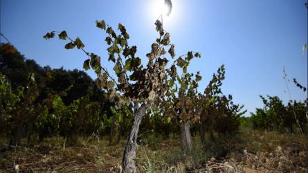 Megégette a nap a dél-francia szőlőket