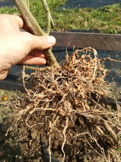 Fonalféreg növényen