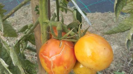Melyek a szabadföldön termesztett paradicsom legfőbb kórokozói?