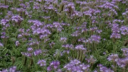 Dísznövényből haszonnövény lett a facélia