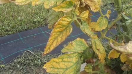 A szabadföldön termesztett paradicsom hiánybetegségei és élettani károsodásai