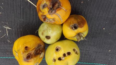 Melyek a szabadföldön termesztett paradicsom legfőbb kártevői?