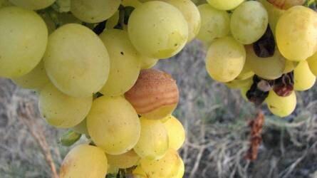 Mi ez az újabb betegség a szőlő fürtjén és bogyóján?