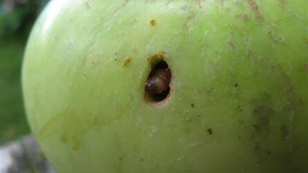 Kihívást jelent az almamoly és a vértetű fertőzése az almásokban