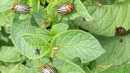 Burgonyabogár elleni biológiai védekezés