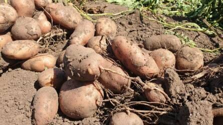 Mi lesz veled, magyar krumpli? - Tragikus állapotok a magyar burgonyatermesztésben