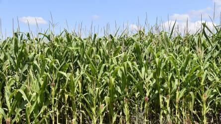 Nem a spekuláció miatt alacsony a kukorica ára