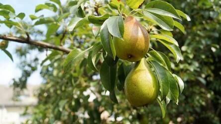 Mi okozhatja fehér közepű, barna szegélyű foltok kialakulását a körtefa levelein?