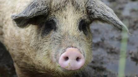 A magyar sertéshús thaiföldi exportjáról tárgyaltak
