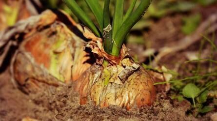 Milyen gyomírtó szerrel kezelhető a hagyma?
