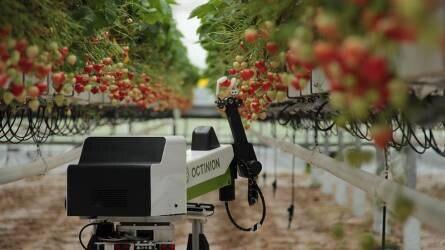 Rubion: földieper-szedő robot a szezonmunkások helyett