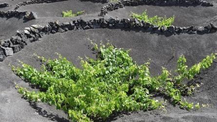 Szőlőtermesztés a vulkánok árnyékában