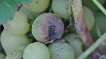 Továbbra is erőteljesen fertőz a szőlőperonoszpóra