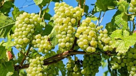 Egy különleges évjáratot követ egy másik… - Milyen volt a szőlő növényvédelme 2019-ben eddig?