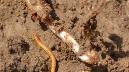 Veszélyes kártevők: a talajlakók