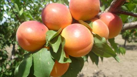 Jól termeszthető vagy jól eladható legyen a kajszifajta?