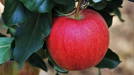 Mi szőhette össze az almafa termését és leveleit?