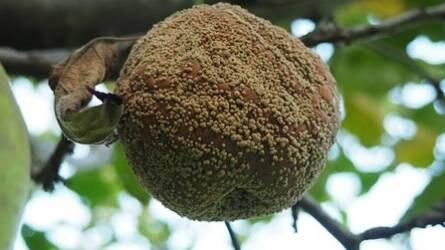 Miért kell eltávolítani a fákról a gyümölcsmúmiákat?