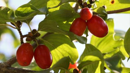Őszi terméshatározó I. rész – galagonya, csipkerózsa és húsos som