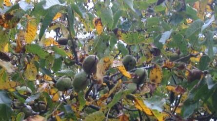 Sok a beteg, károsított diófa - napégés, almamoly és nyugati dióburoklégy okozzák a legtöbb problémát