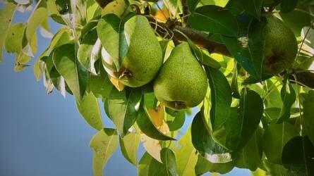 Mitől lett foltos a körtefa levele?
