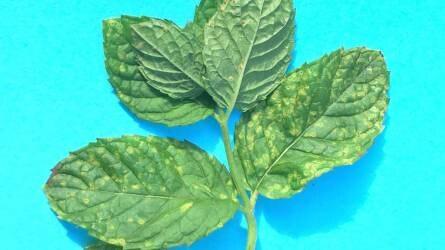 Mi károsítja a menta leveleit?