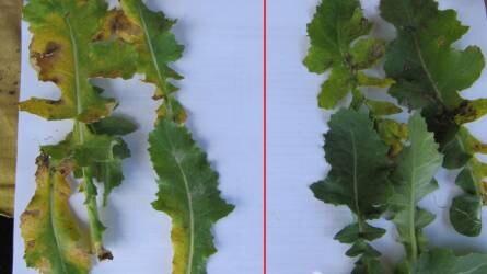 Ne csak álom legyen a magas terméshozam! – Alkalmazza a Syngenta teljes regulátor/gombaölő szeres technológiáját ősszel és tavasszal is repcében