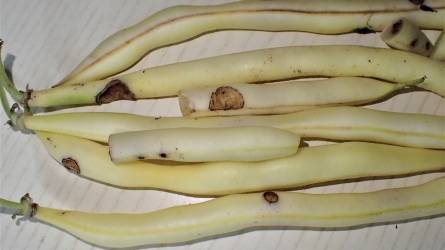 Mi rágta meg a zöldbab hüvelyeit?